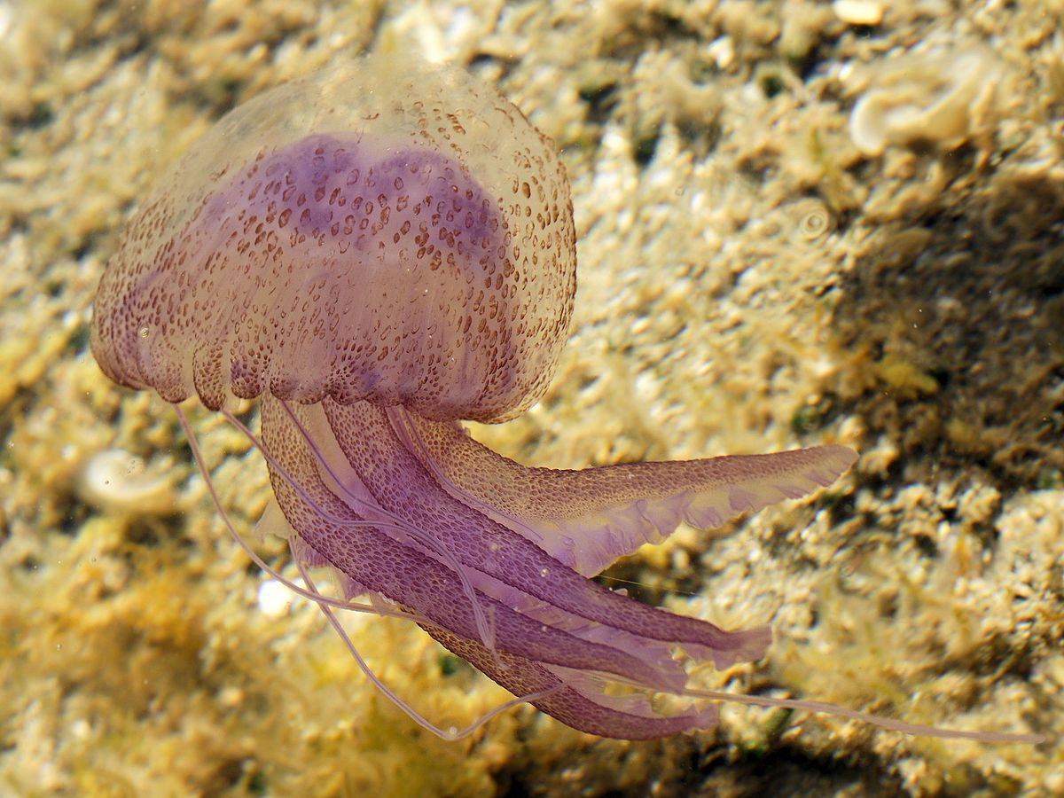 medusa luminescent