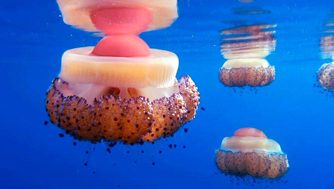 medusa ou ferrat